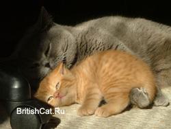 Голубая британская кошка c красным британским котенком
