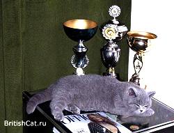 Спящий голубой британский котенок