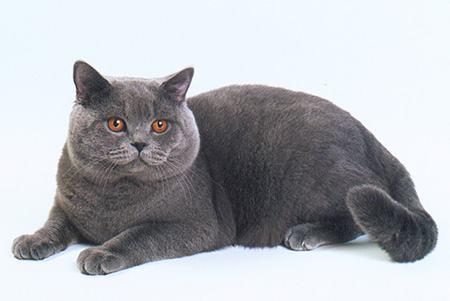 британская кошка золотая шиншилла Helia Peppercats. увеличить фото. британский кот золотая