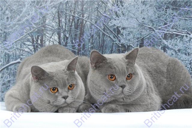 Британские коты гуляют