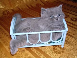 Отец котят британский кот Чемпион Мира WCF Arnold British Symphony.