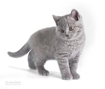 Британский котенок голубой